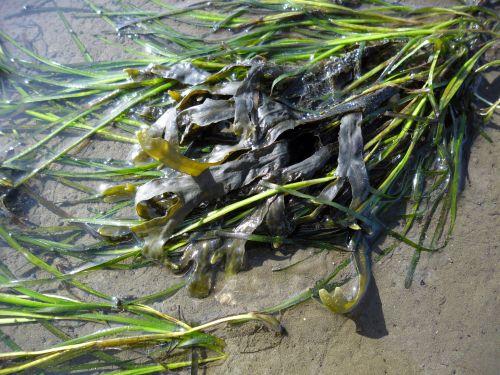 Der Blasentang Fucus vesiculosus (hier umgeben von Seegras) ist auch keine Pflanze, aber erst recht kein Tier.