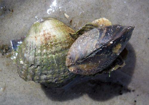 Wenn man im Watt so einen Ballen findet, ist immer eine Miesmuschel Mytilus edulis dabei. Sie halten sich mit den Byssusfäden an allem fest, was sie erwischen können. Andere Muscheln graben sich ein.