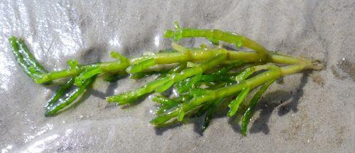 Der Queller Salicornia europaea wächst nicht so weit im Watt. Das hier ist nur ein abgerissenes Stück. Kann man übrigens auch essen.