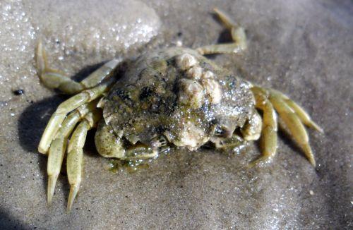 Ist das nun eine tote Strandkrabbe Carcinus maenas oder nur eine leere Hülle? Wenn Krebse sich häuten, bleibt (ebenso wie bei Libellen) eine Hülle übrig, die wie ein vollständiges Tier aussieht.